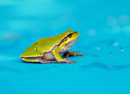 Green frog on wet blue background