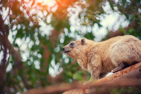 nature reserves of israel: Rock hyrax on the tree