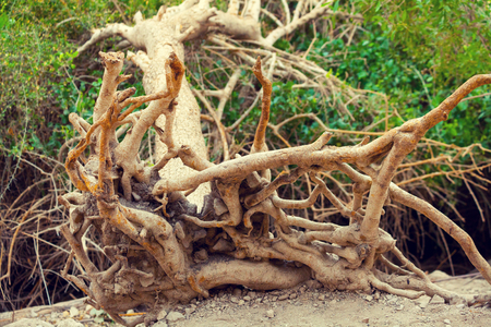 nature reserves of israel: Dry fallen tree with rhizome Stock Photo