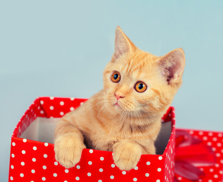 look out: Cute kitten look out of the red gift box Stock Photo