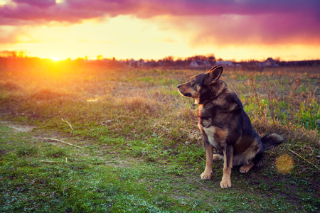 gazing: Dog gazing sunset in countryside
