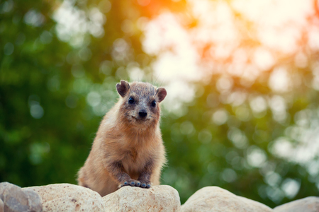 nature reserves of israel: Rock hyrax walking on the rock Stock Photo