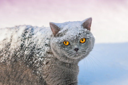 british pussy: Covered with snow cat walking in snow in winter Stock Photo