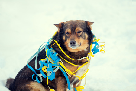entangled: Dog entangled in colorful streamer on the snow