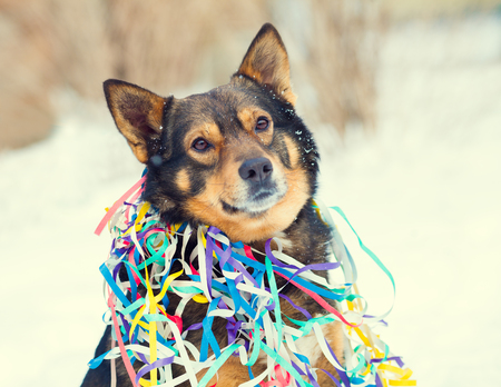 entangled: Portrait of dog entangled in colorful streamer on the snow Stock Photo