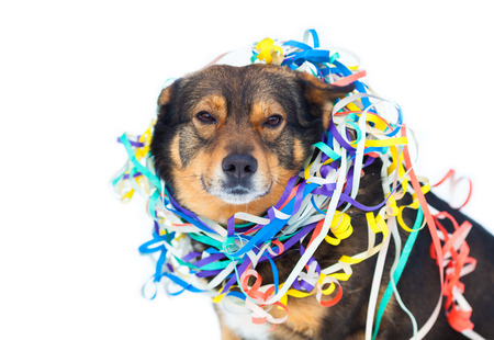 cur: Portrait of dog entangled in colorful streamer isolated on white background