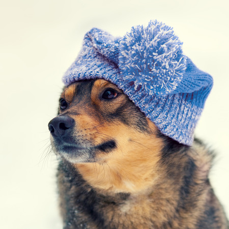 cur: Portrait of the dog wearing knitted hat in winter