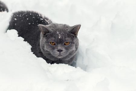 british pussy: Portrait of blue british shorthair kitten sitting in deep snow
