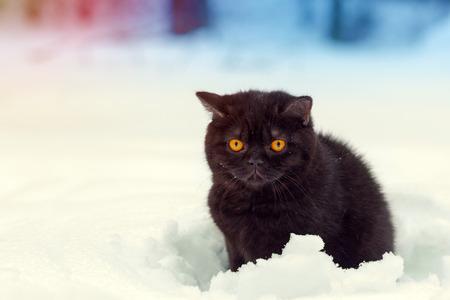 british pussy: Portrait of brown british shorthair kitten walking in snow