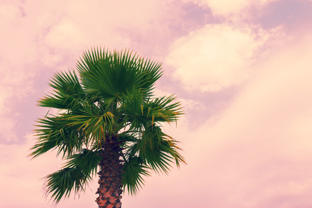 dactylifera: Palm tree krone against pink cloudy sky