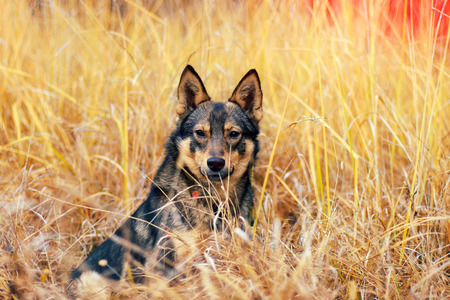 siting: Dog siting in tall dry yellow grass Stock Photo