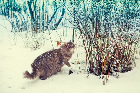 christmas pussy: Siberian cat walking in the snowy forest