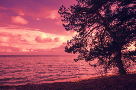 sunrise ocean: Pine tree near sea at purple sunset Stock Photo