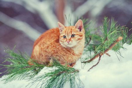 british pussy: Little kitten relaxing in the pine forest in winter