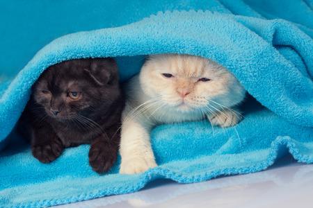 blue blanket: Two cute little kittens peeking out from under the soft warm blue blanket Stock Photo