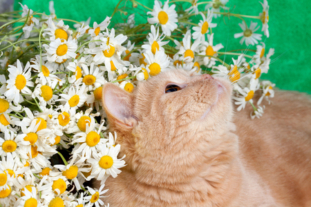 flowers cat: Portrait of the cat with flowers Stock Photo