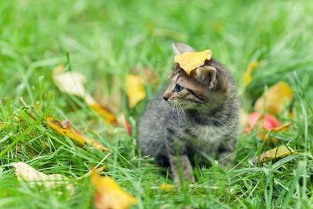 cute bi: Little kitten walking on the grass with fallen leaves. Leaf on the head