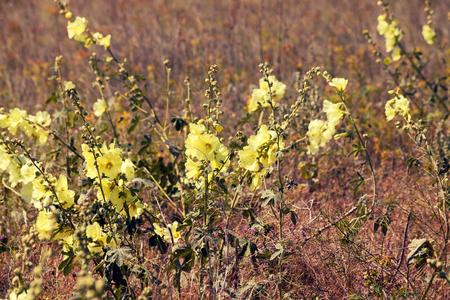 mallow: Mallow flowers on the field