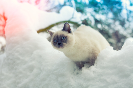 christmas pussy: Cat sitting on a snow in winter forest