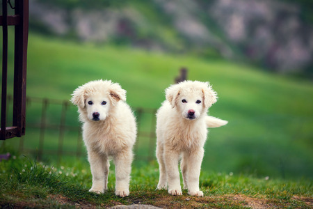 pyrenean mountain dog: Two puppies of Great Pyrenean Mountain Dog outdoors. Livestock guardian dog