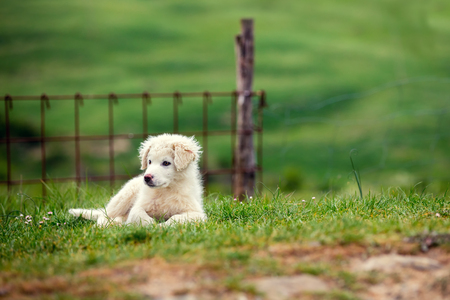 pyrenean mountain dog: Puppy of Great Pyrenean Mountain Dog outdoors. Livestock guardian dog Stock Photo