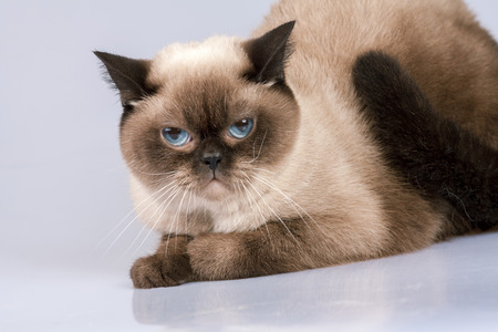 siamese: Studio portrait of siamese cat