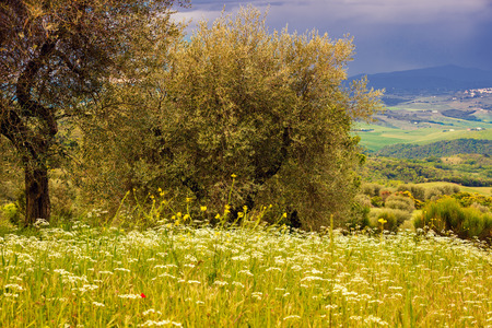 valdorcia: Olive trees in stormy weather, Tuscany, Italy