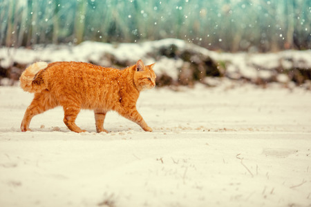 Red cat walking outdoor in the snow Stock Photo