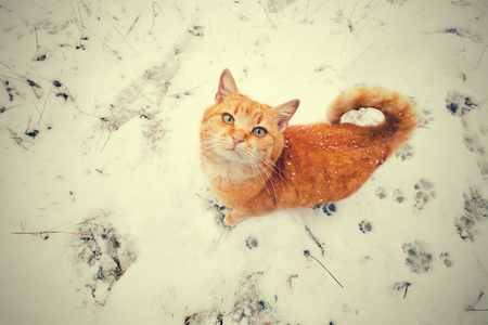 Red cat walking on the snow and looking up. Perspective view
