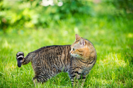 cute bi: Cat walking in the grass and looking back Stock Photo