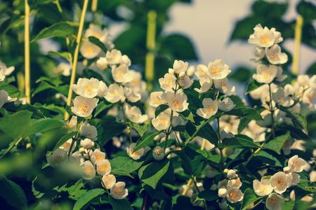 jasmine bush: Blossoming jasmine bush Stock Photo