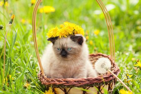chaplet: Little kitten crowned flower chaplet sitting in a basket on flower lawn