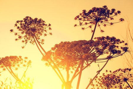 Dry dill plant against sunset sky