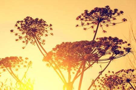 finocchio: Pianta di aneto secco contro il cielo al tramonto