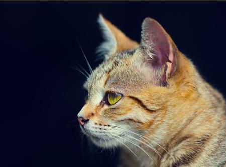 head profile: Cat portrait in profile on black background