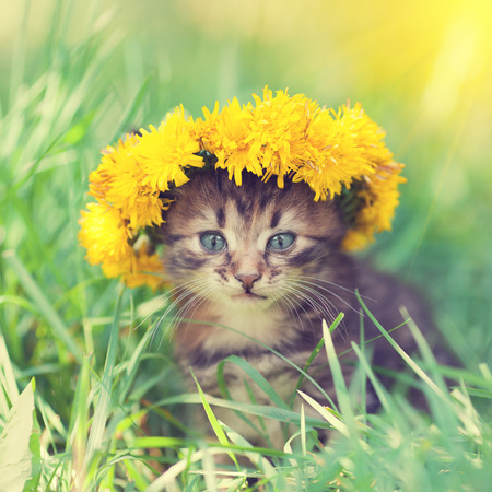 little kitten crowned chaplet from the dandelion flowers sitting on the grass