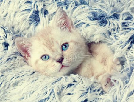 blue blanket: Cute little kitten peeking out from under the soft fir blue blanket Stock Photo
