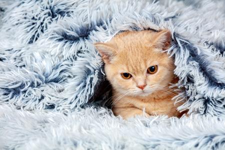 blue blanket: Cute little red kitten peeking out from under the soft warm blue blanket