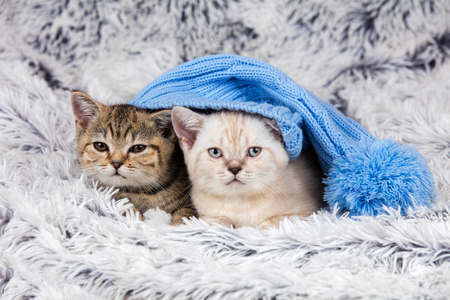 le cap: Two little kittens wearing big cap lying on fluffy blanket