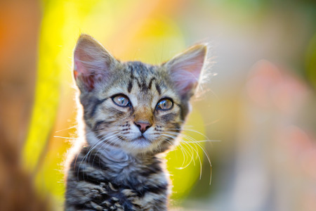 Portrait of dreaming little kitten outdoor at sunset light Stock Photo
