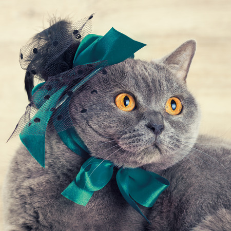 tendencies: Fashion portrait of cat wearing hat with blue ribbons. Cat looking up and dreaming