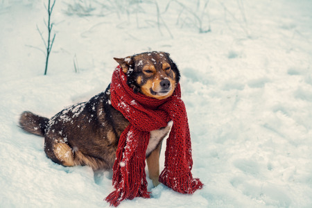 winter wood: Portrait of a dog with knitted scarf tied around the neck walking in blizzard in the forest