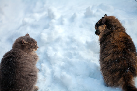 Two siberian cats walking in snow Stock Photo
