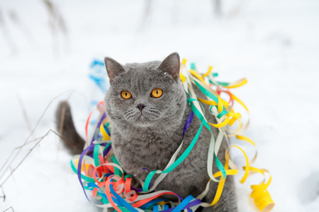 Portrait of a Blue british shorthaired cat entangled in colorful streamer. Cat walking in the snow outdoor