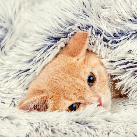 'hide out': Cute little red kitten peeking out from under the soft warm blue blanket