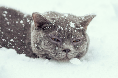 Blue British Shorthair cat lying in the snow