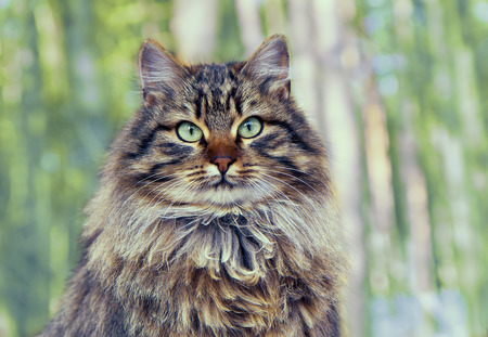 siberian pine: Vintage portrait of cute siberian cat sitting in the pine forest