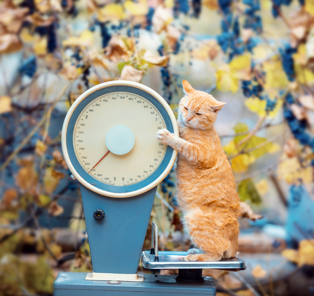 Cat standing on the scales in the garden. Cat Weigh control. Healthy body weight