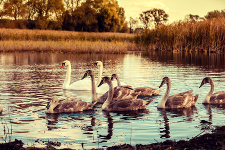 ugly duckling: swan family swimming at pond in sunrise