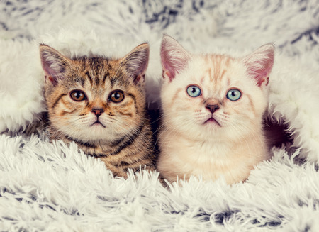 'hide out': Two cute little kittens peeking out from under the soft warm fluffy blanket